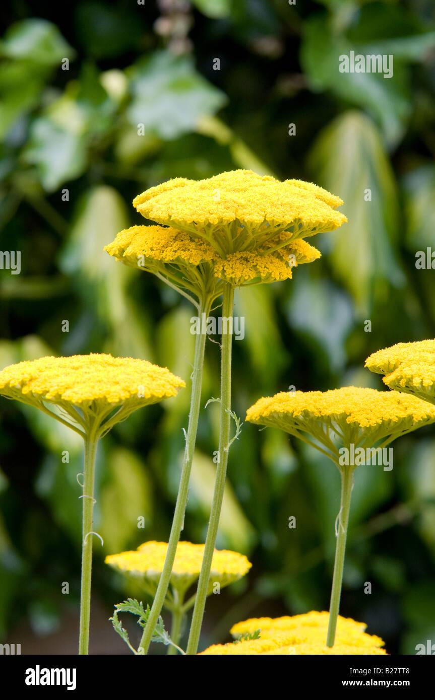 Organic Flowers - Achillea filipendulina Cloth of Gold - Stock Image