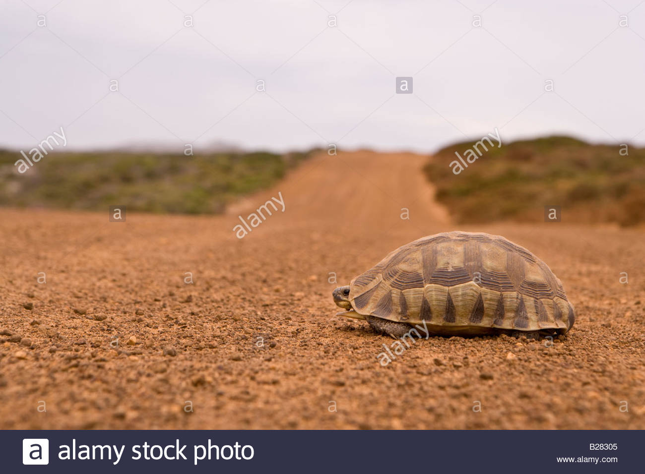 Tortoise on dirt road, ground view - Stock Image