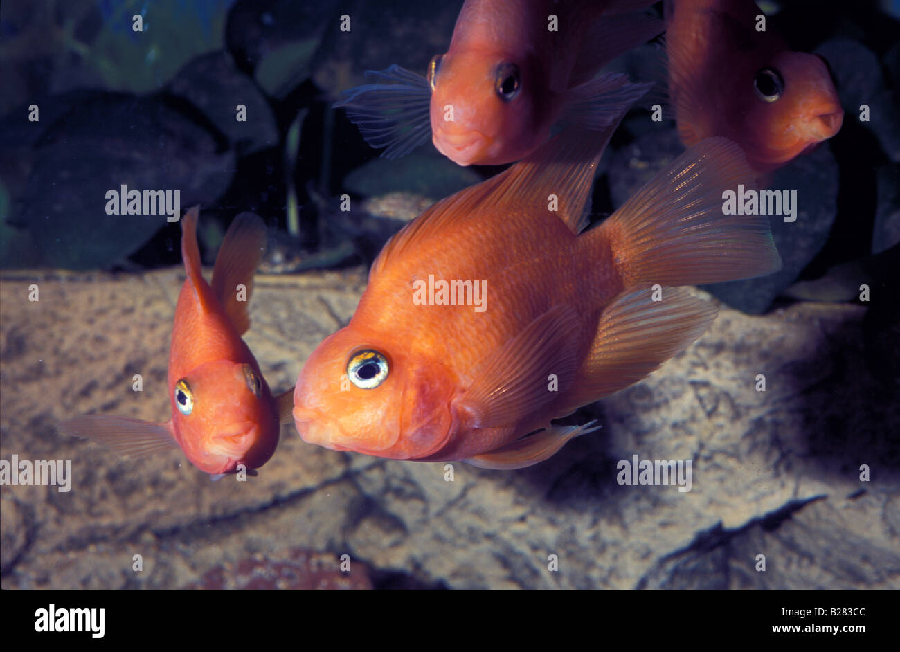 red parrot cichlid hybrid freshewater fish stock photo 18617996