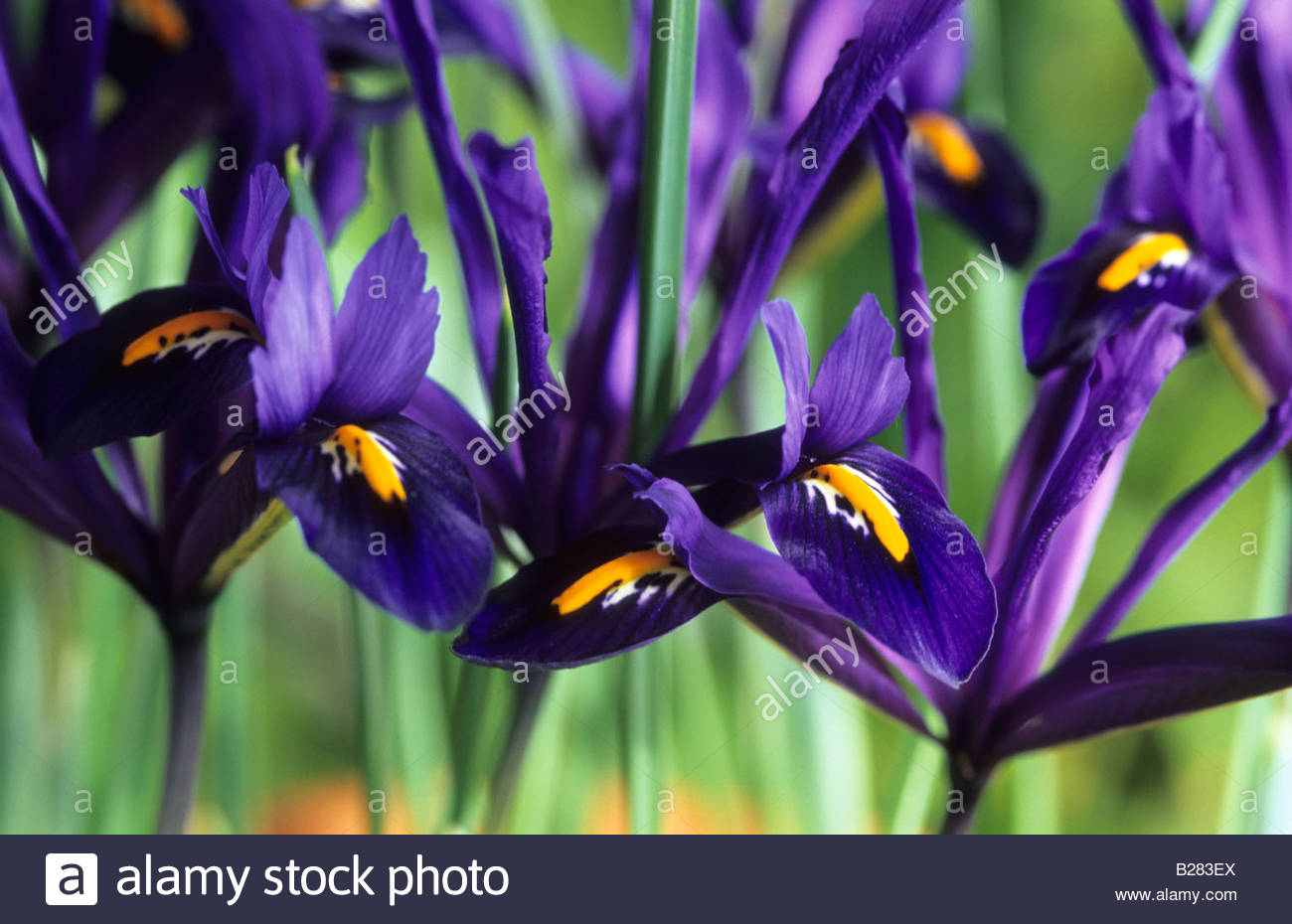 Dwarf Iris Reticulata Pixie Spring Flower Bulb Purple February