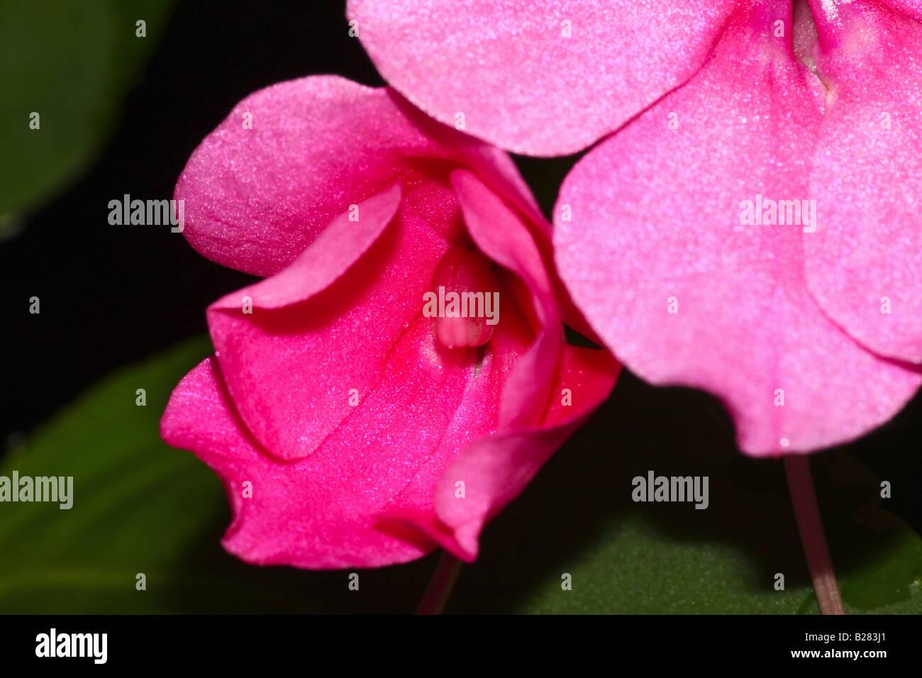 Pink Impatient Close Up Stock Photo