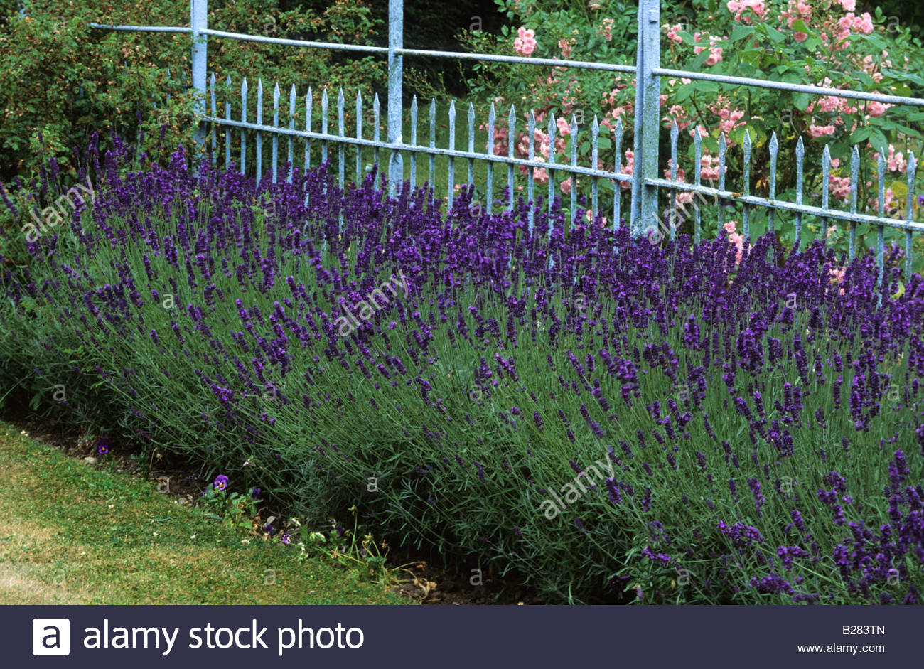 fence hedge lavender stock photos fence hedge lavender stock