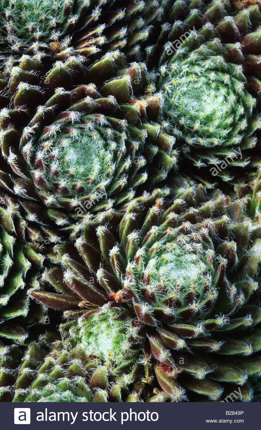 houseleek Sempervivum Sprite - Stock Image