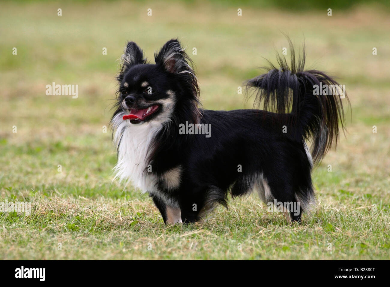 Adult long haired chihuahua spunk