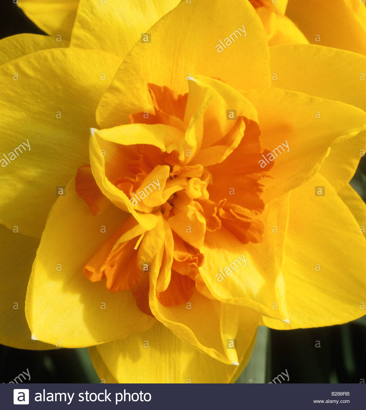 Daffodil narcissus tamar fire yellow spring flower daffodils flowers daffodil narcissus tamar fire yellow spring flower daffodils flowers mightylinksfo