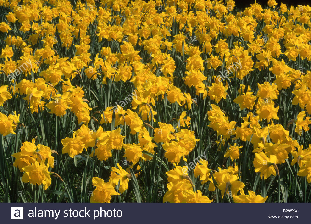 Daffodil narcissus golden harvest yellow spring flower daffodils daffodil narcissus golden harvest yellow spring flower daffodils flowers mightylinksfo