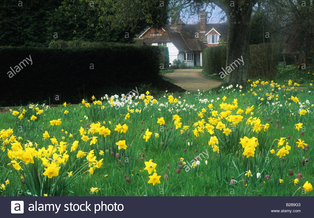 Private Garden Sussex Spring Meadow With Mixed Daffodils And Frittilaries  Daffodil Flowers Flower   Stock Image