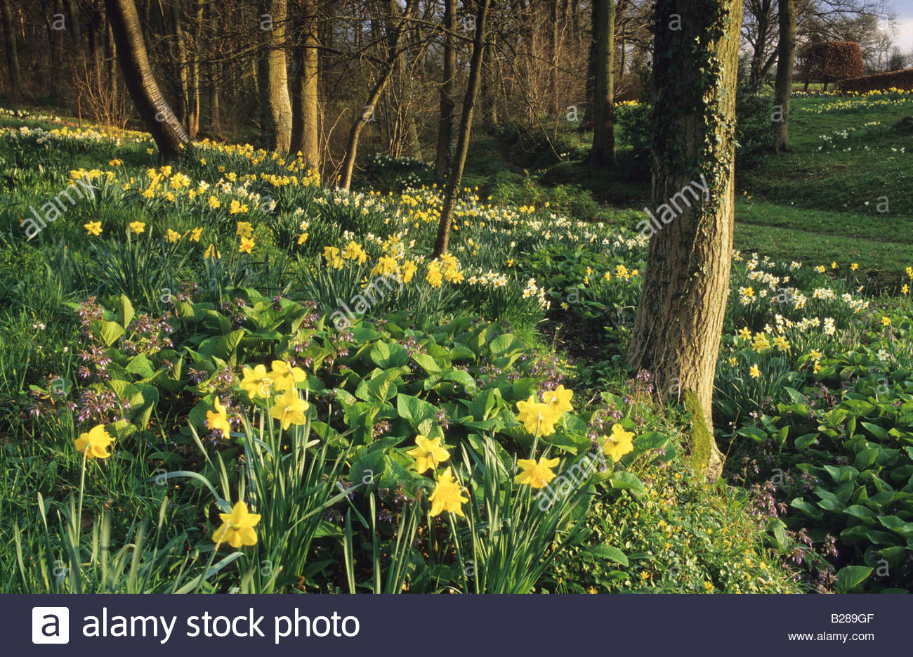 Vann Surrey Mixed Daffodils In Spring Woodland Garden Wood Flowers