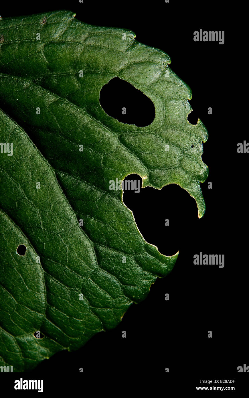 Green plant. Leaf face. 2008 - Stock Image