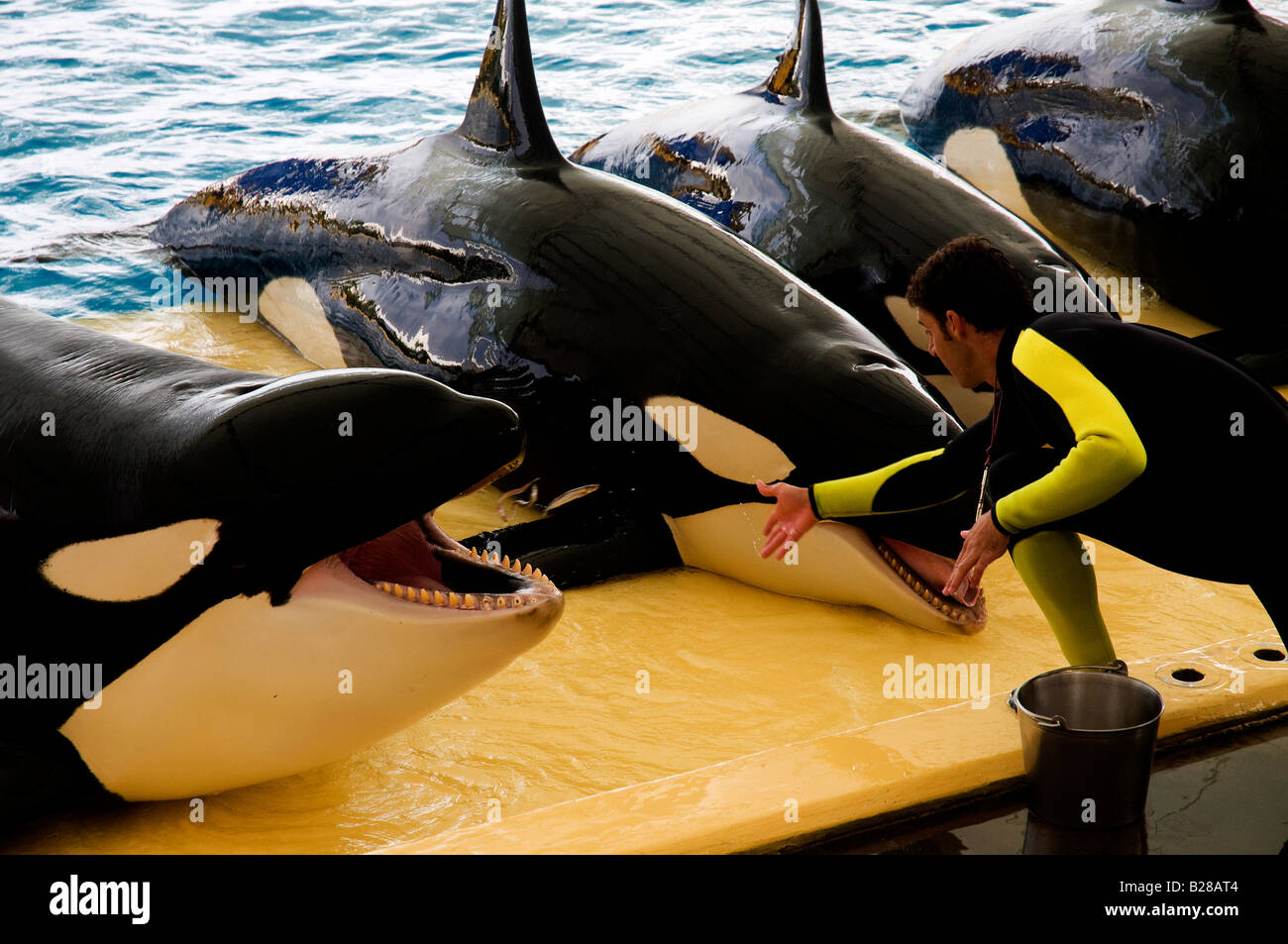 Handler feeding some killer whales during the Orca Show in Loro Parque, Puerto de la Cruz, Tenerife, Spain - Stock Image