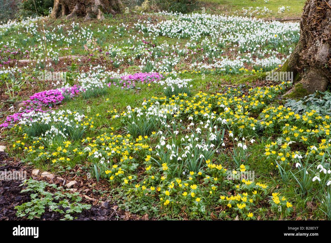 Snowdrops and early spring flowers in a Cotswold garden at Colesbourne Park, Gloucestershire - Stock Image