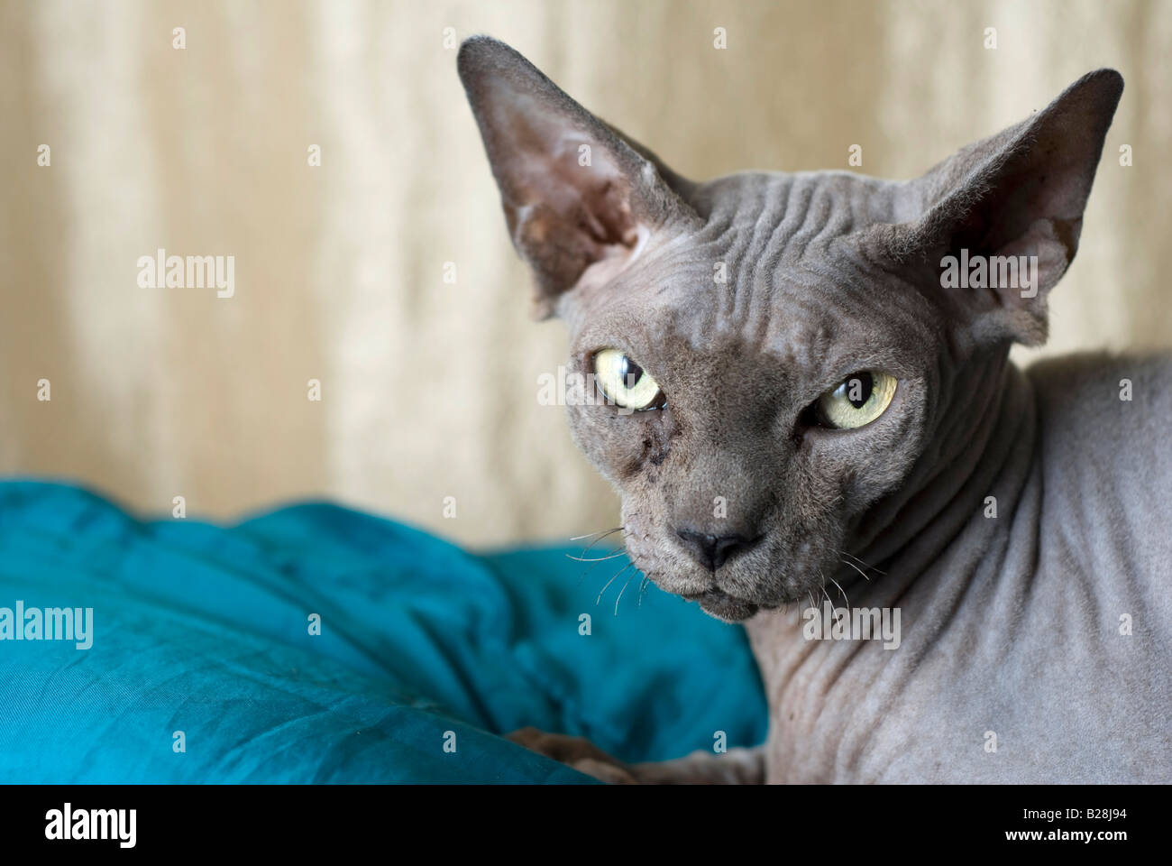 Sphynx cat also known as Canadian Hairless is a rare breed of cat known for its lack of a coat Property Release - Stock Image