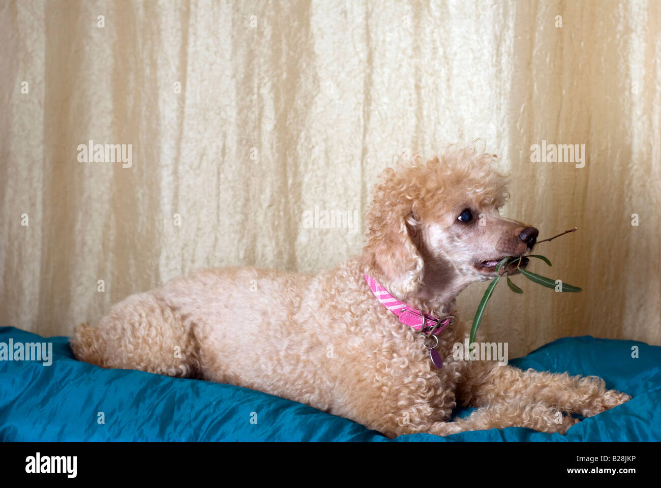 Apricot Miniature Poodle with an olive branch in mouth - Stock Image