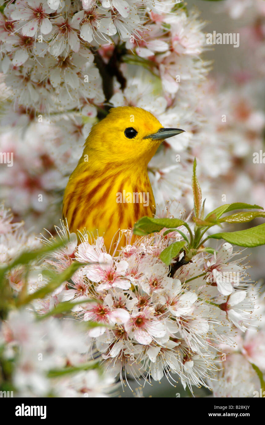 Yellow Warbler in Cherry Blossoms Vertical - Stock Image