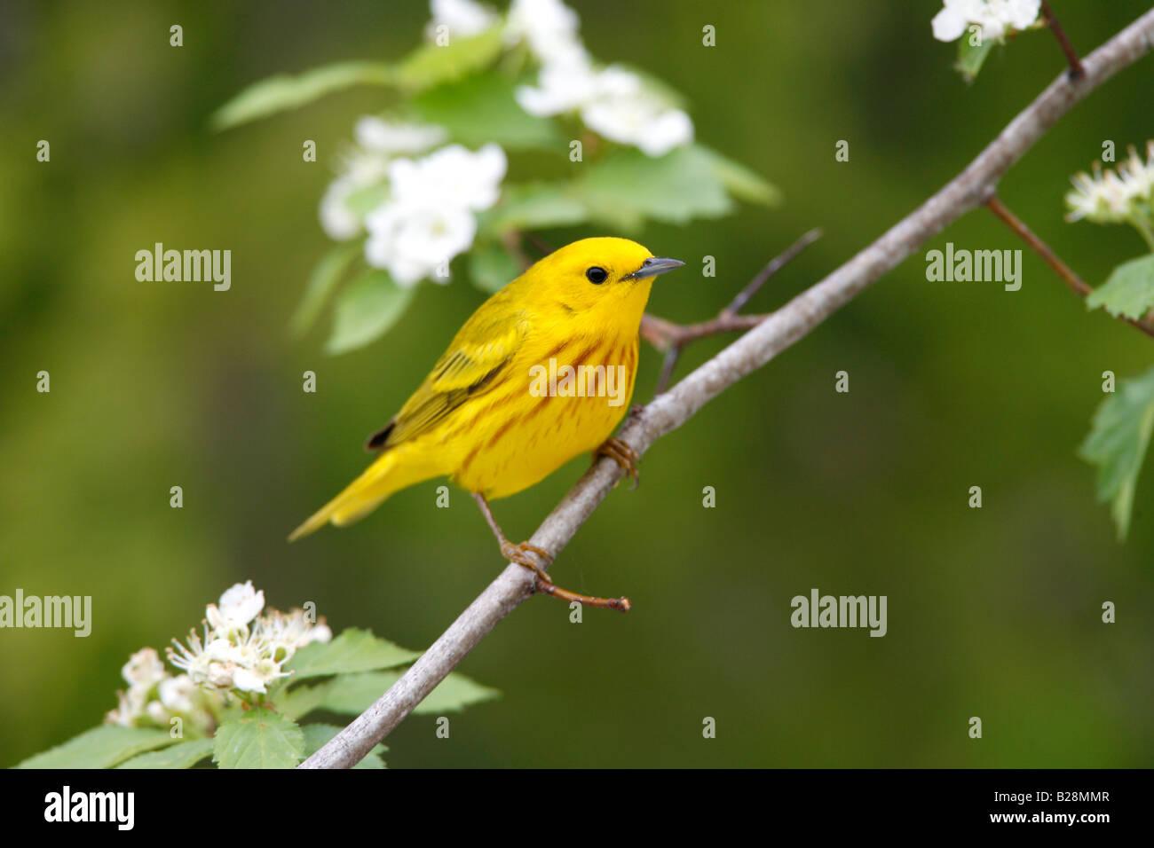 Yellow Warbler in Hawthorn Tree - Stock Image