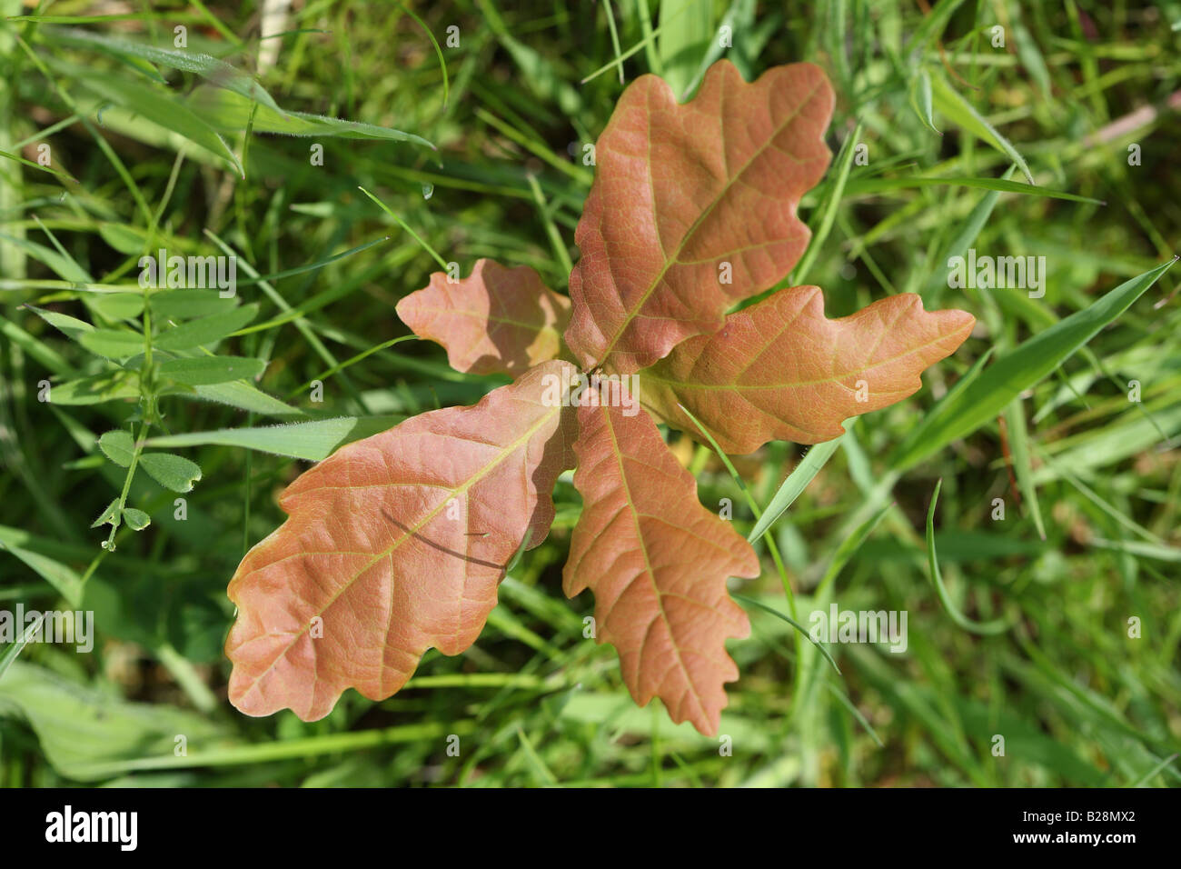 OAK Quercus robur SMALL SEEDLING PUSHES THROUGH GRASSLAND - Stock Image