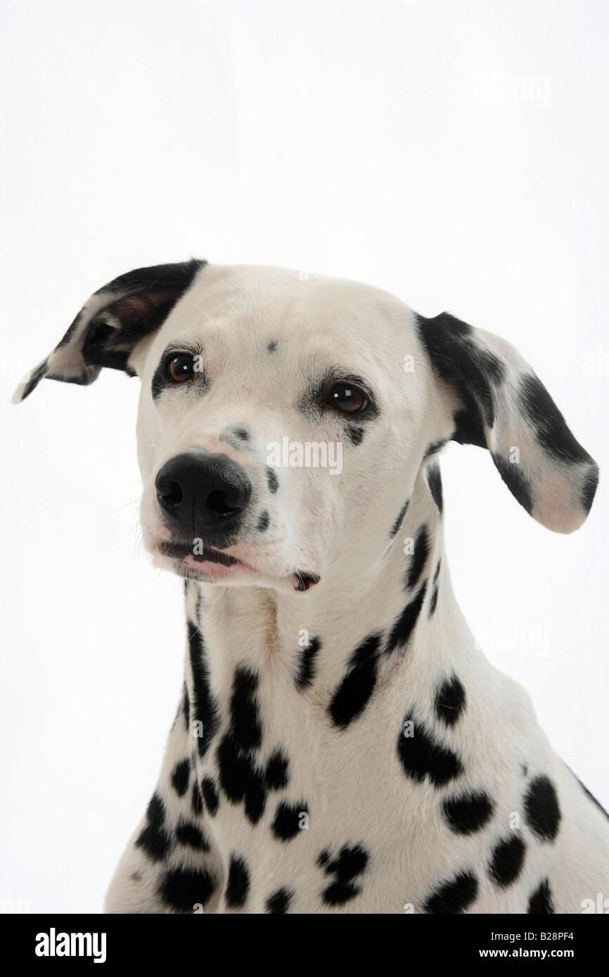 Dalmatian - Stock Image