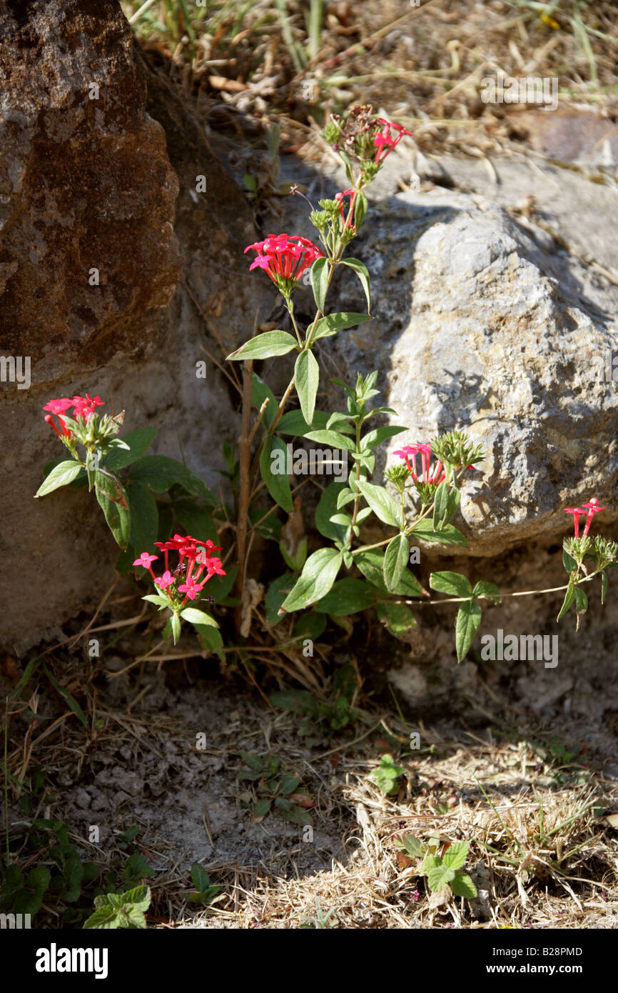 Red Flower Growing in the Ruins of Monte Alban, Oaxaca, Mexico Stock Photo