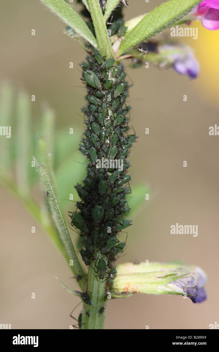 APHIDS MASS ON STALK OF VETCH PLANT - Stock Image