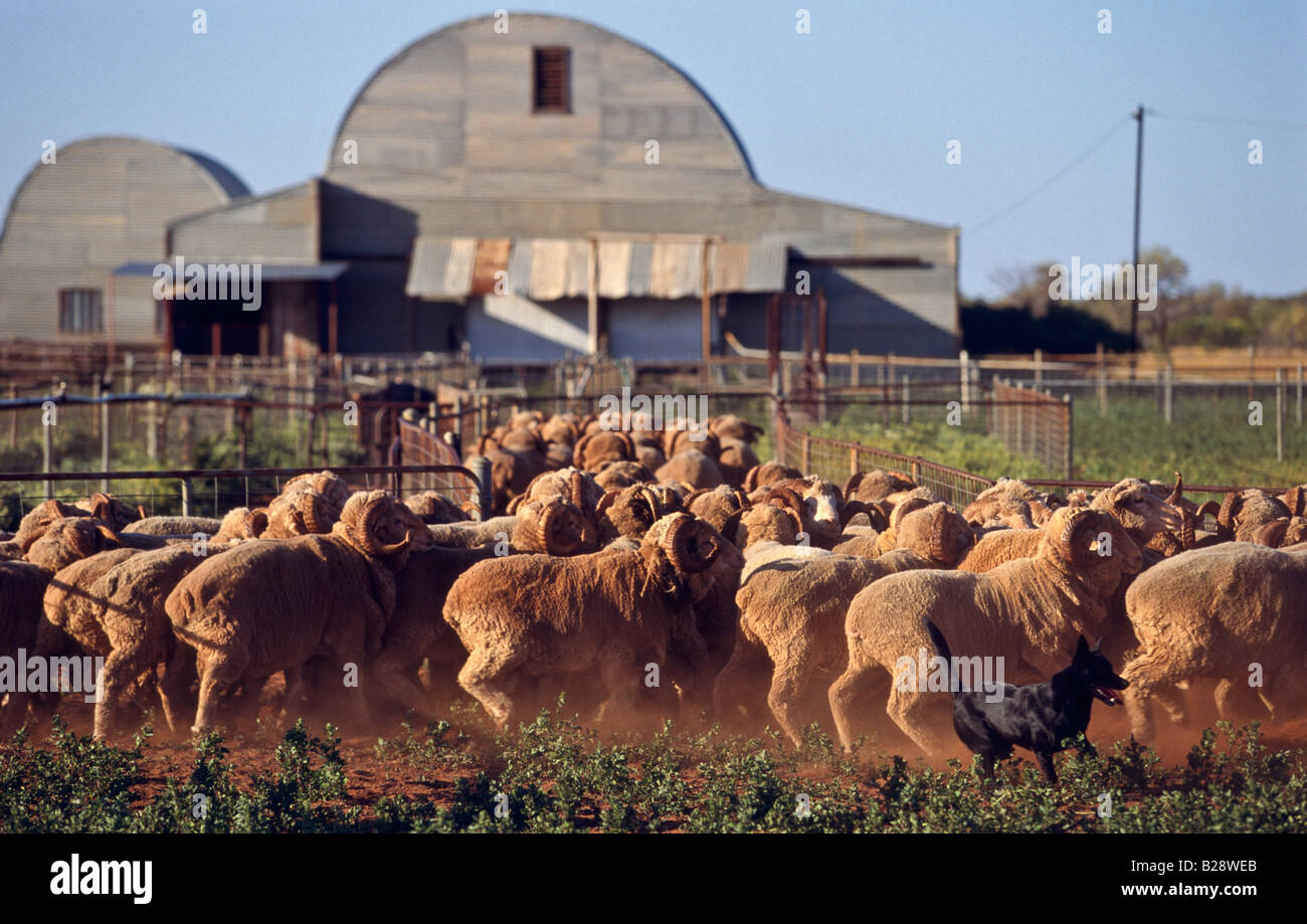 Mustering sheep Western Australia Stock Photo