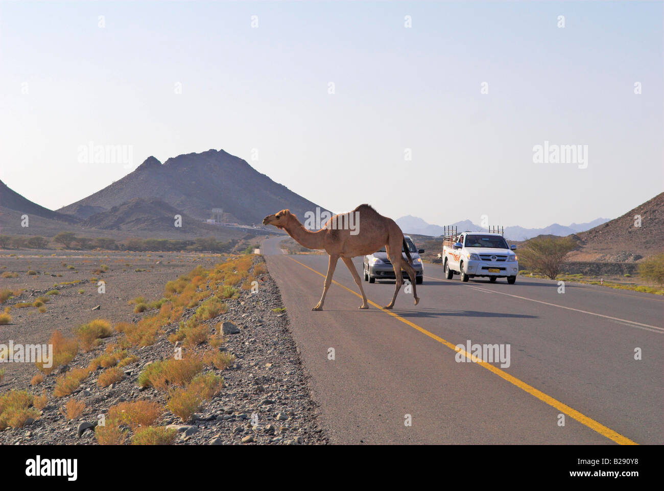 Camel crosses the road Wahiba Sands Date 12 03 2008 Ref ZB917 111153 0033 COMPULSORY CREDIT World Pictures Photoshot - Stock Image