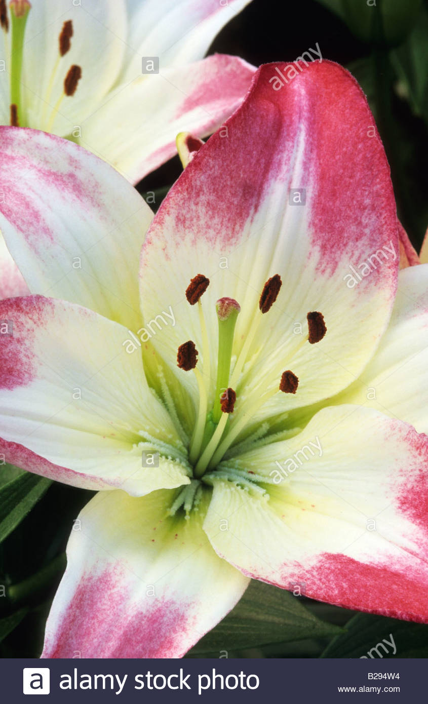 Lilium Lollypop Flowers Lily Stock Photos Lilium Lollypop Flowers