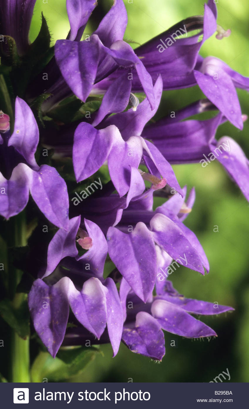Blue Cardinal Flower Lobelia Siphilitica Stock Photo 18641486 Alamy