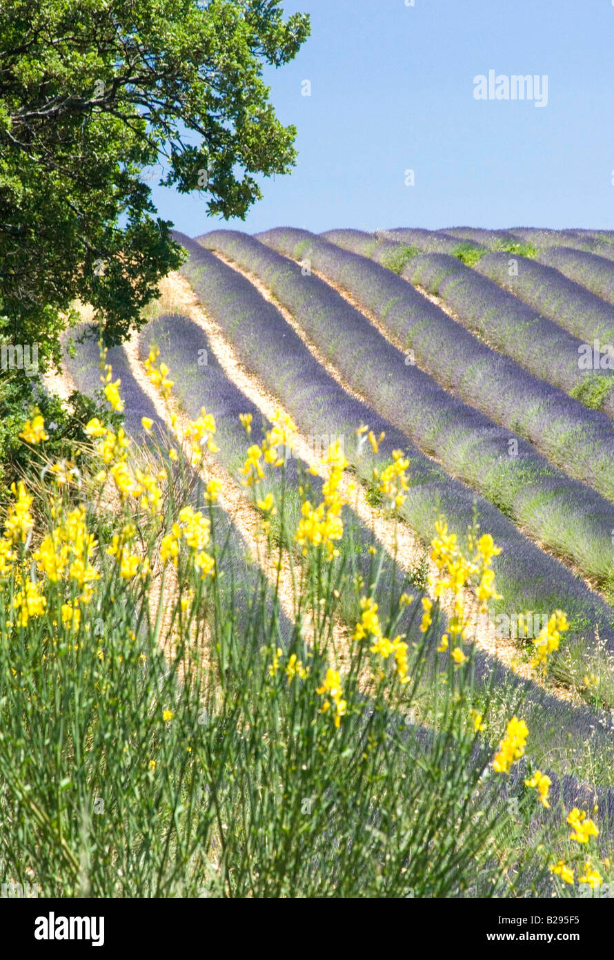 Lavender Valensole Provence France Date 28 03 2008 Ref ZB726 111651 0004 COMPULSORY CREDIT World Pictures Photoshot - Stock Image