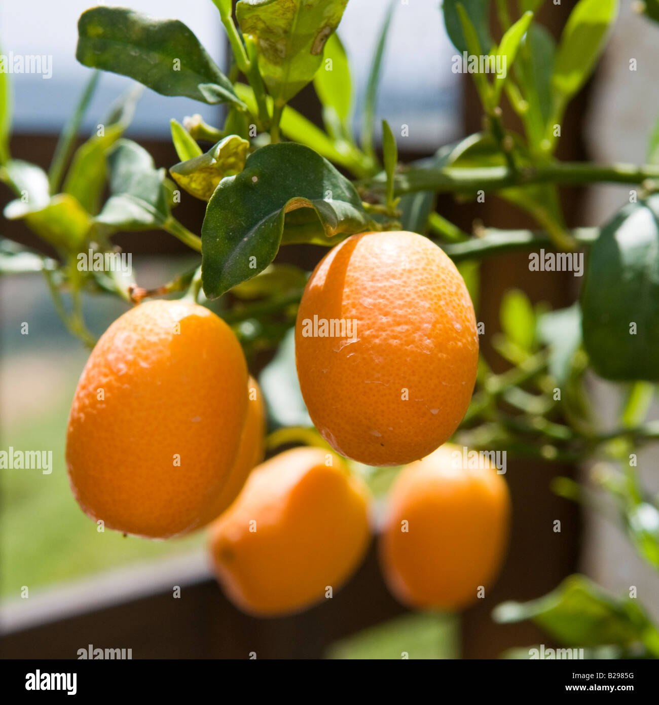 Kumquat Tree Stock Photos Amp Kumquat Tree Stock Images Alamy