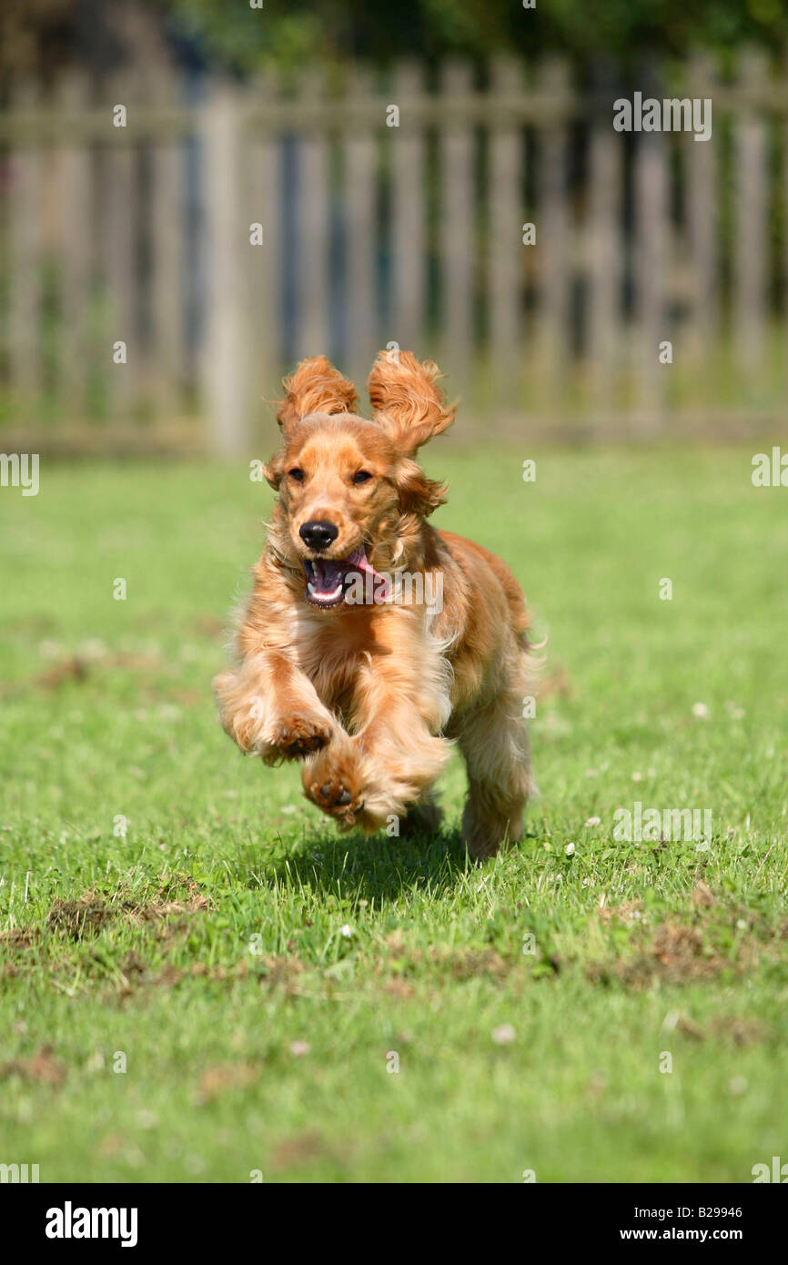 English Cocker Spaniel 6 month - Stock Image