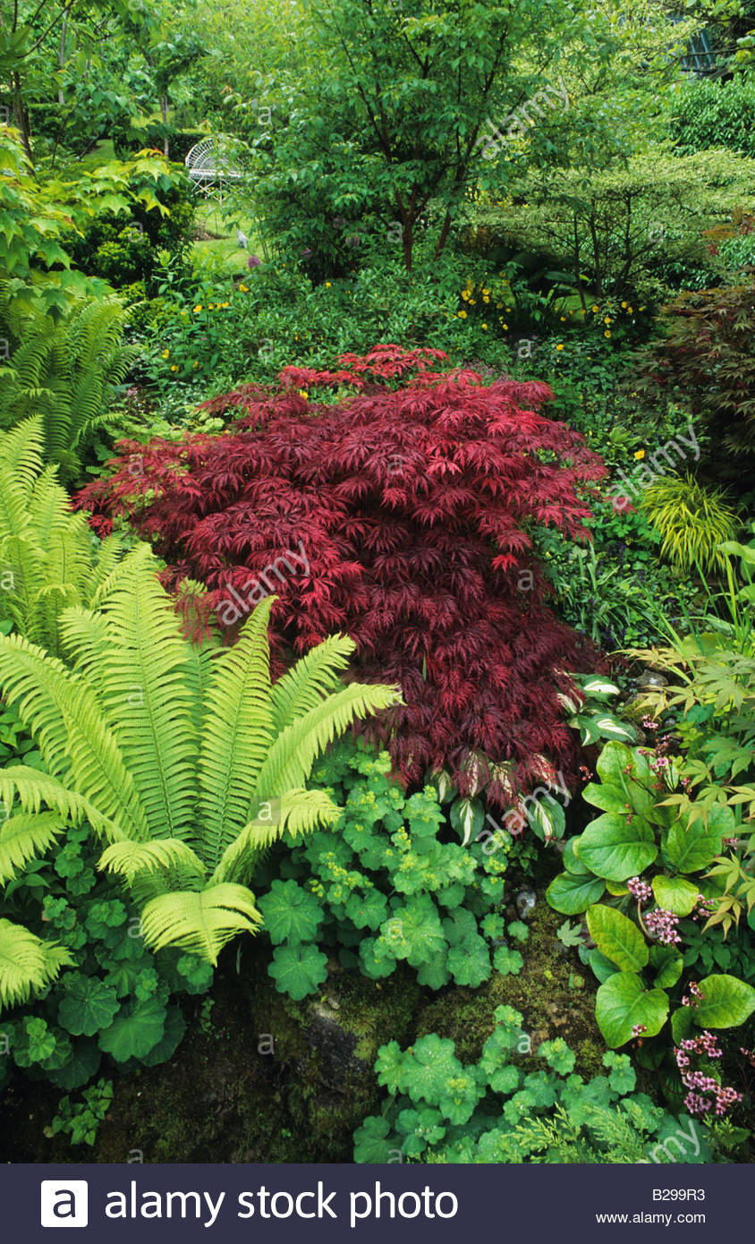 Alan Titchmarsh S Garden Hampshire Shady Woodland Garden With Ferns And  Japanese Maple Acer Palmatum Atropurpureum