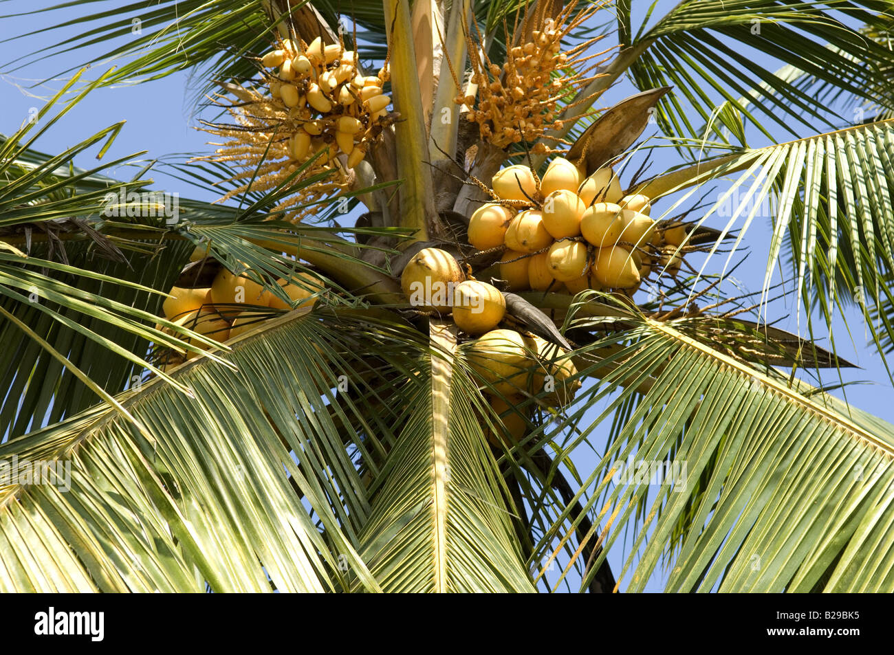 King Coconut palm Sri Lanka Date 20 04 2008 Ref ZB648 115261 0059 COMPULSORY CREDIT World Pictures Photoshot - Stock Image