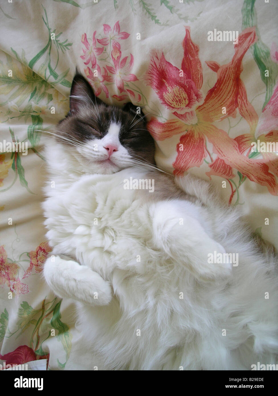Ragdoll cat asleep on a soft bed with orchid floral print - Stock Image