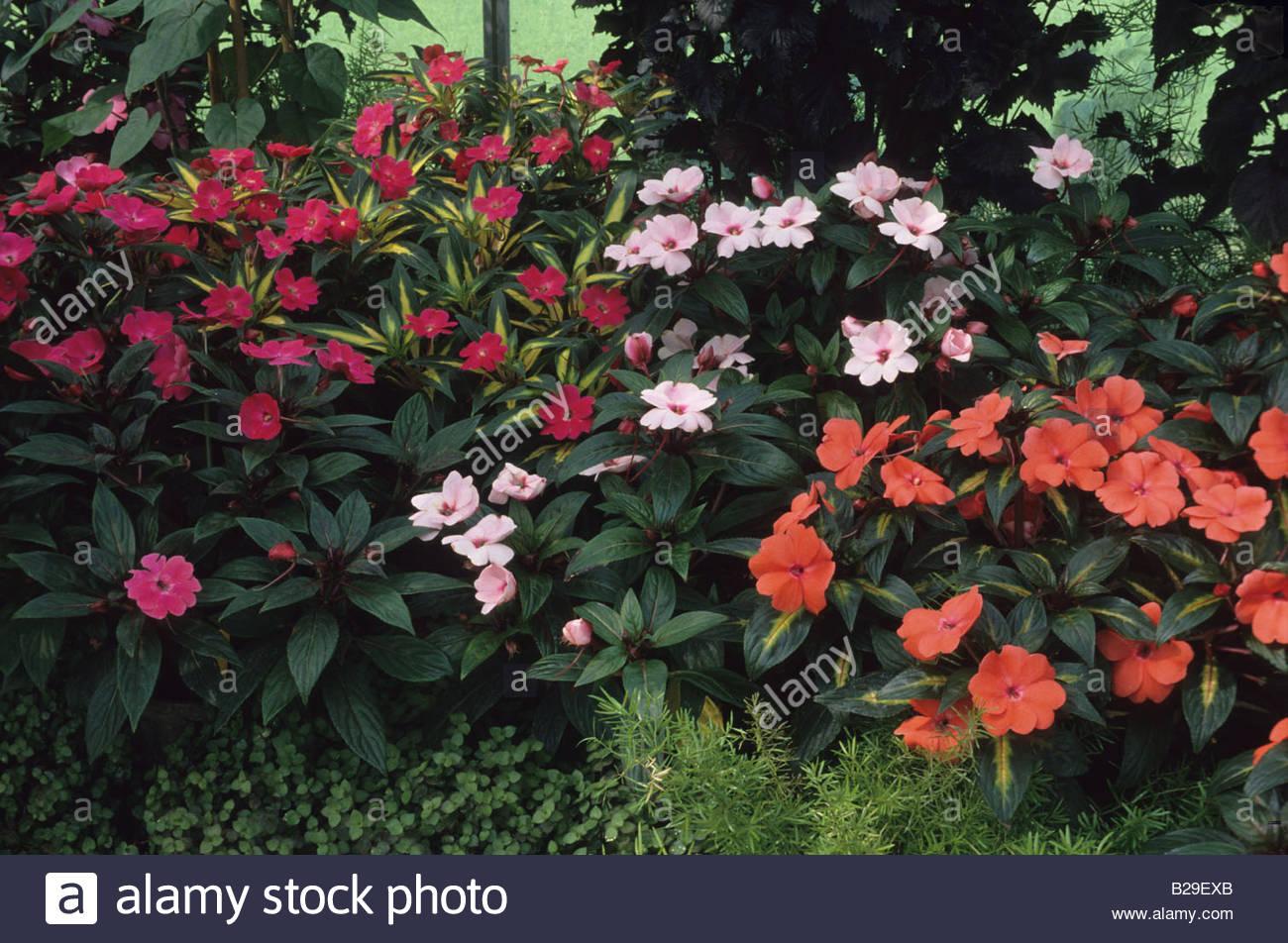 Shade Loving Perennials Impatiens New Guinea Hybrids Stock Photo