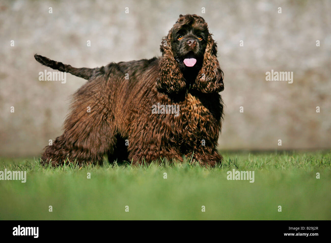 American Cocker Spaniel - Stock Image