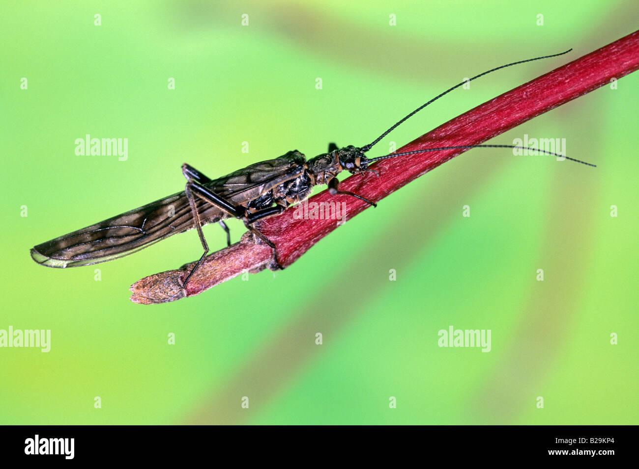 Stonefly (Plecoptera), imago on twig - Stock Image