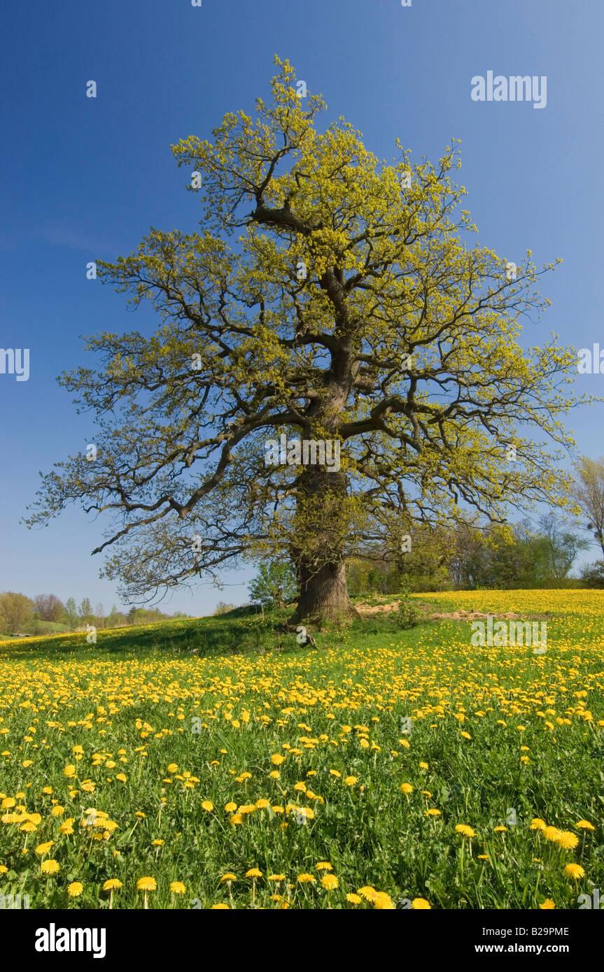 Oak tree - Stock Image