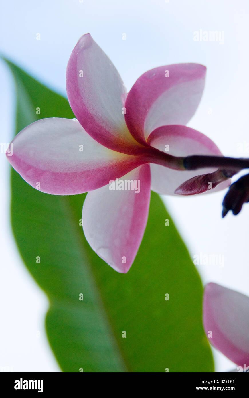 Macro Shot Of Plumeria Common Name Frangipani The Plumeria Flower Is