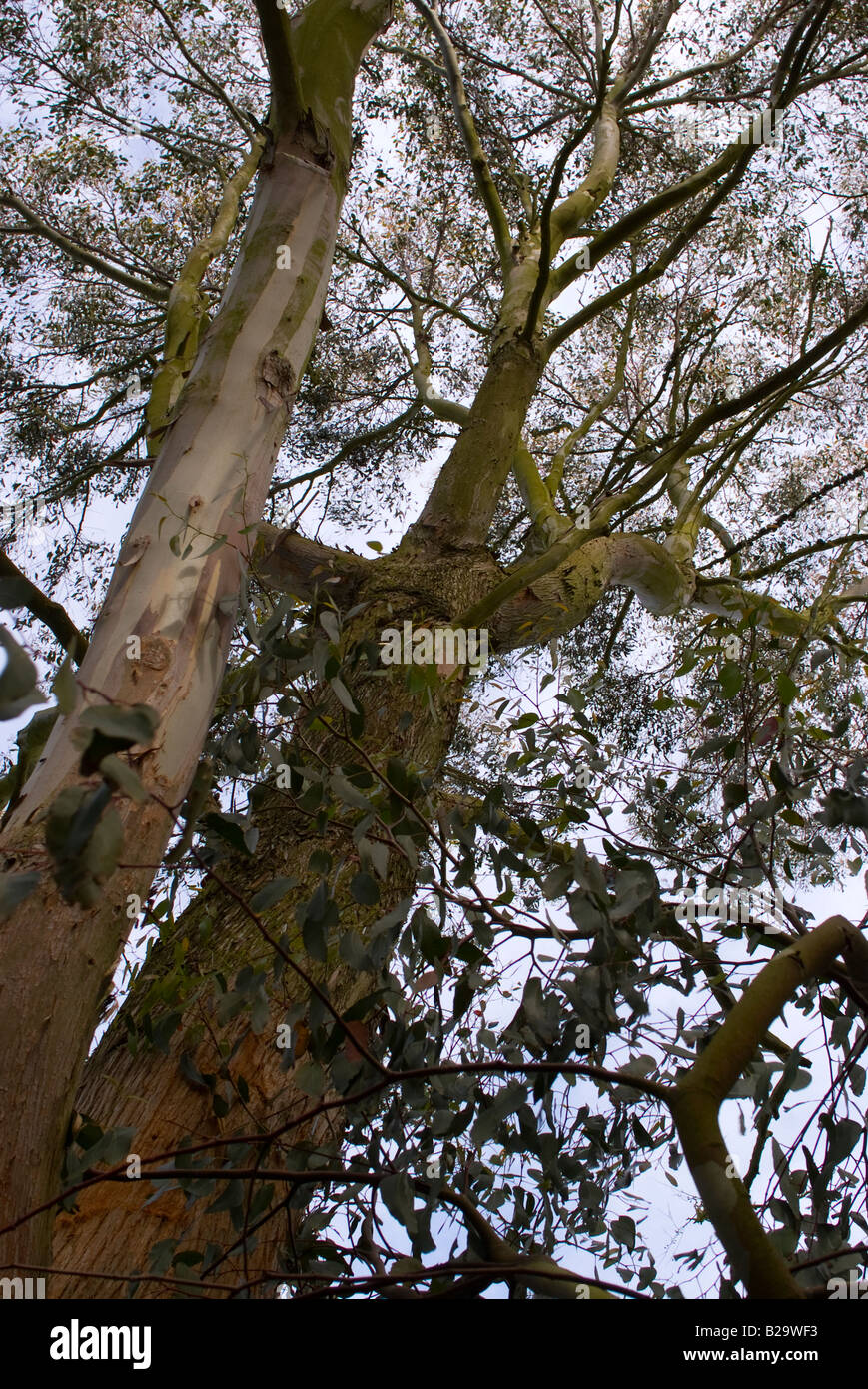 Large Beautiful Eucaliptus Tree with Attractive Bark and Scent in ...