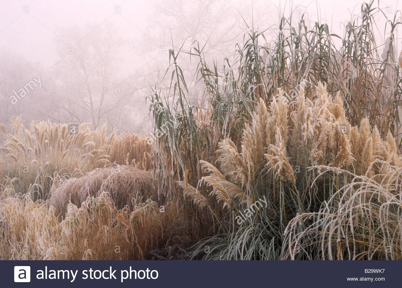 Rhs wisley surrey ornamental grasses pampass grass cortaderia stock rhs wisley surrey ornamental grasses pampass grass cortaderia selloana in winter frost and fog workwithnaturefo