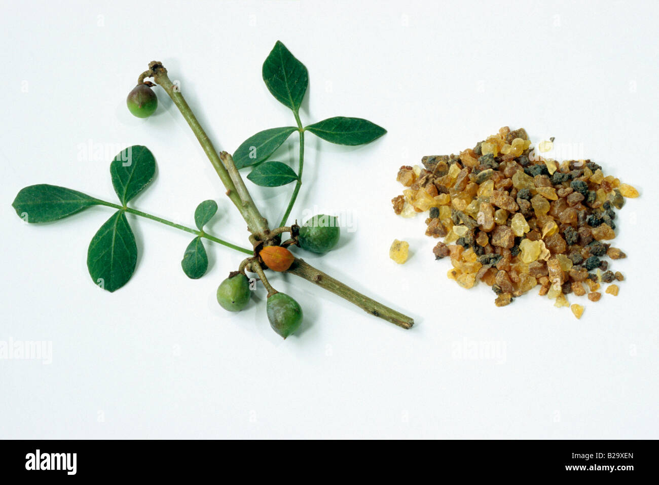 Abyssinian Myrrh (Commiphora abyssinica), twig with leaves, twig with leaves and resin, studio picture - Stock Image