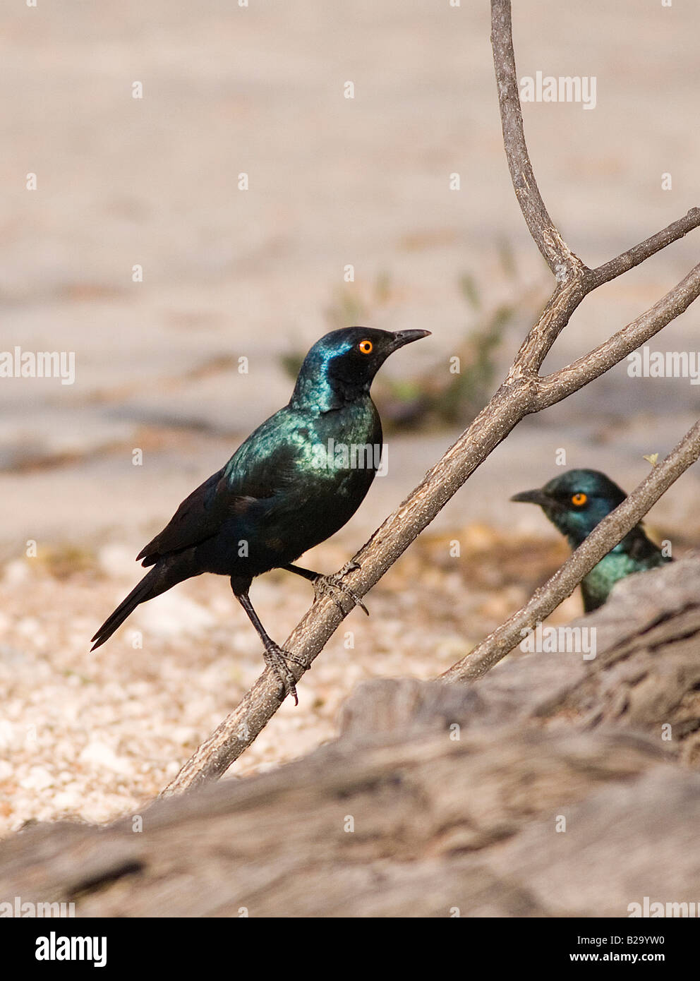 BIRDS Ref WP ABB 1149DFWP ABB 1149DF Compulsory Credit World Pictures Photoshot - Stock Image