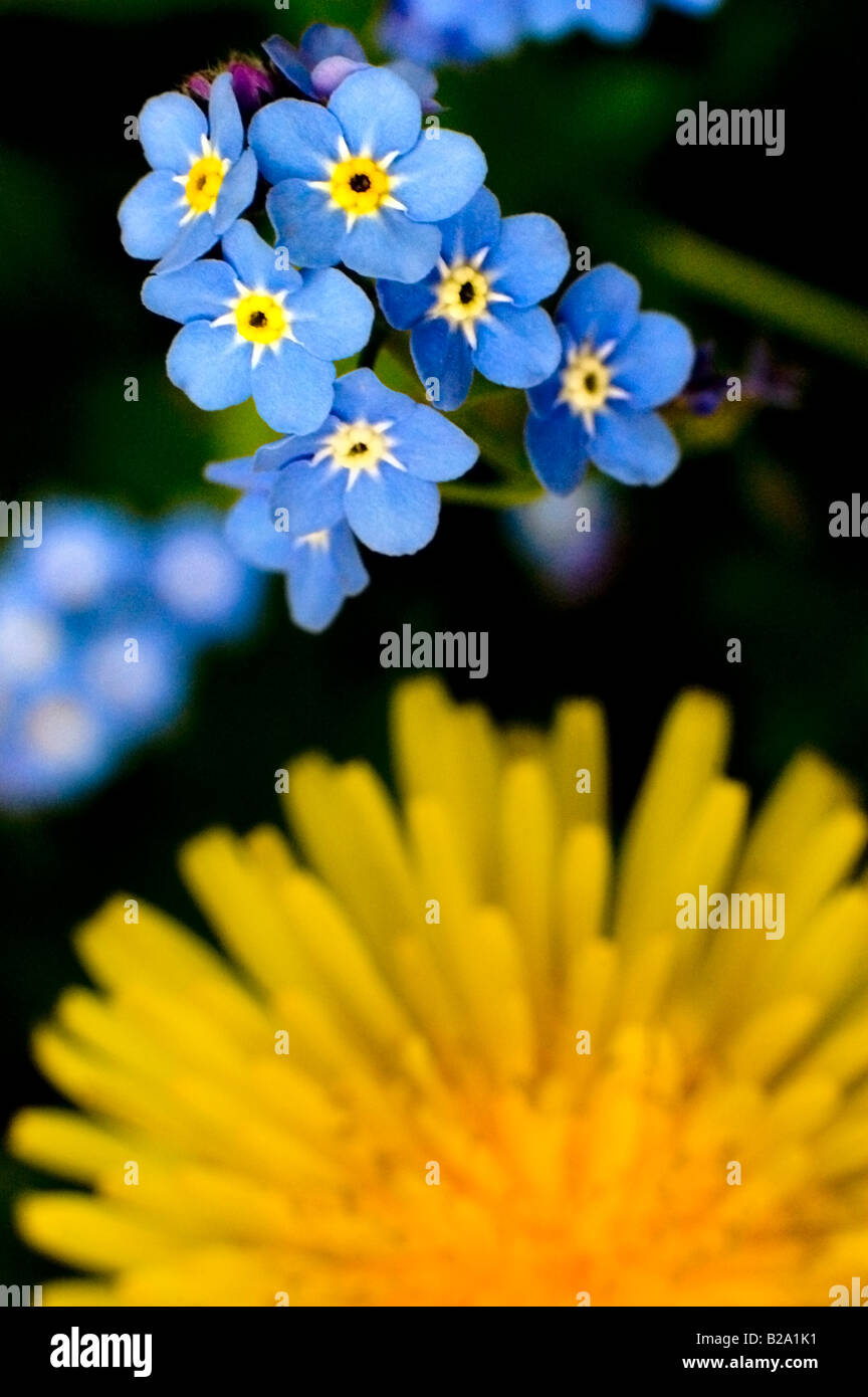 FOR-GET-ME-NOTS WITH DANDELION FLOWER - Stock Image