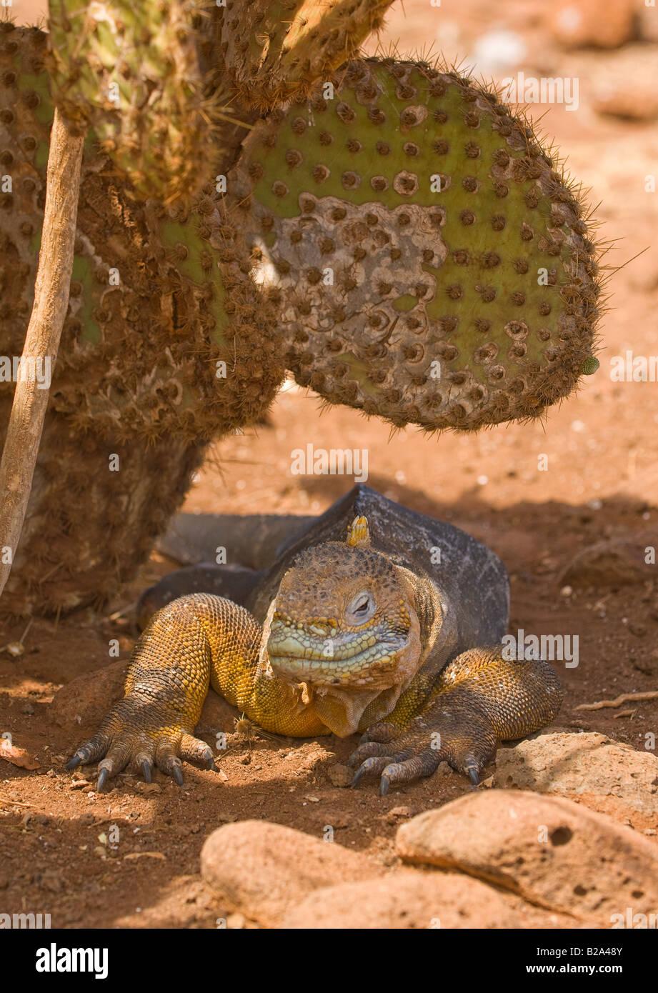 land iguana galapagos islands ecuador - Stock Image