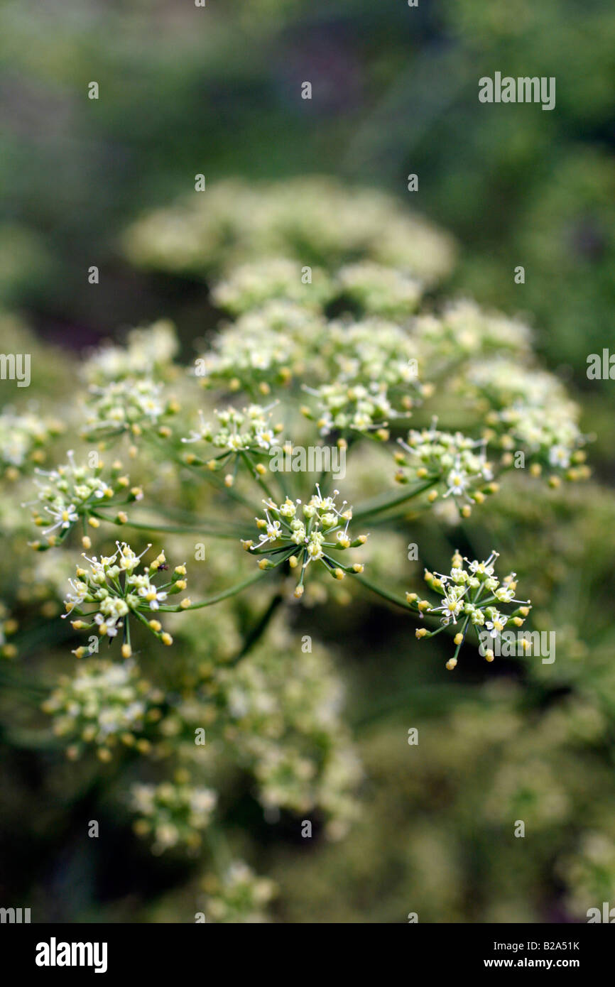 FRENCH LARGE LEAVED PARSLEY ALLOWED TO FLOWER IN ORDER TO COLLECT SEED Stock Photo