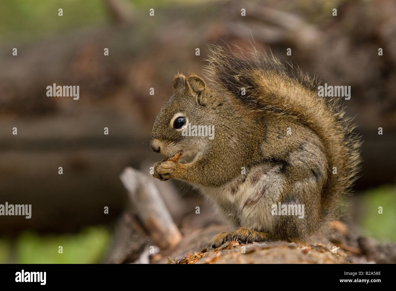 Squirrel at Jasper National Park - Stock Image