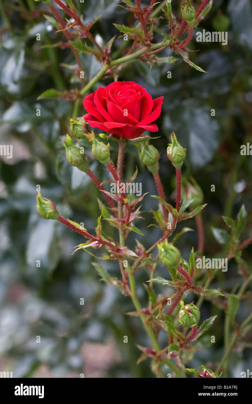 climbing red rose stock photos amp climbing red rose stock