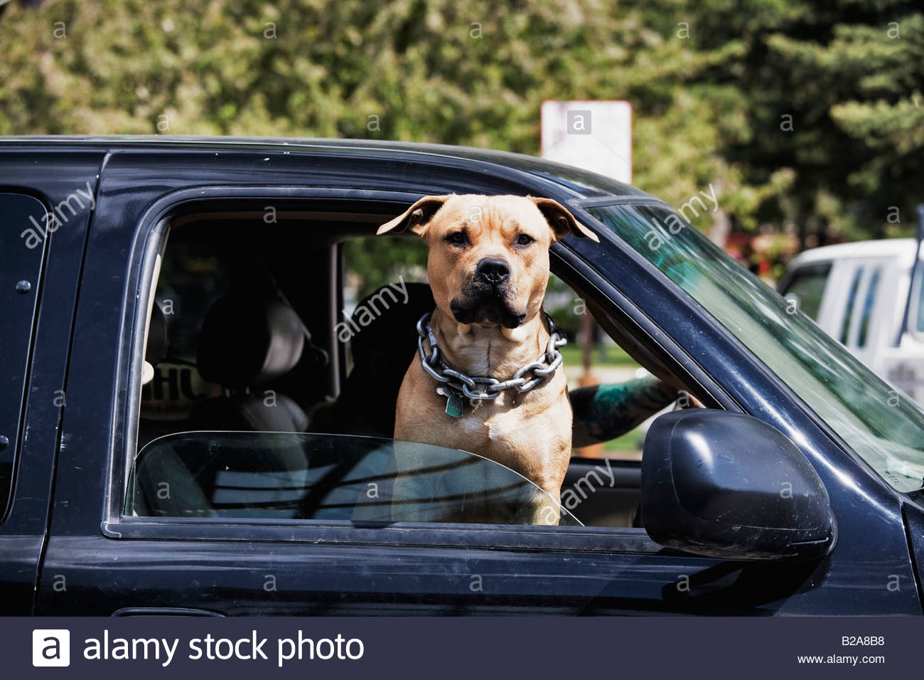 Pit Bull dog riding in front seat of pick up truck - Stock Image