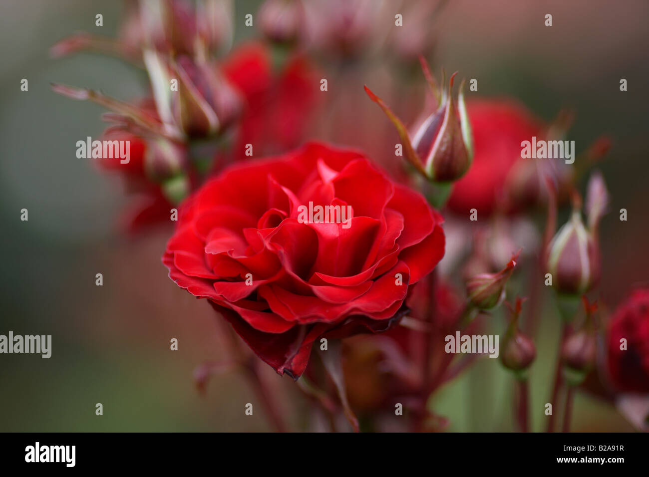 red caviar red rose flower buds and stems - Stock Image