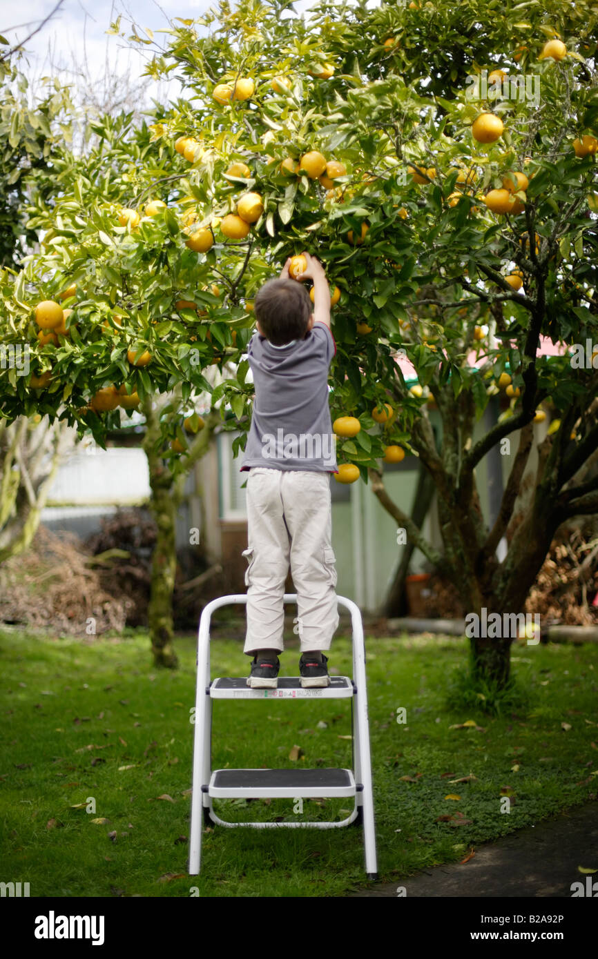 Child on steps picks grapefruit from tree in garden Six year old boy mixed race indian ethnic and caucasian - Stock Image